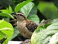 Campylorhynchus rufinucha.. o como le decimos los Ticos, Chico Piojo. - panoramio.jpg