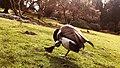 Canada Goose in Stanley Park.jpg