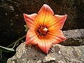 Canarina canariensis (Los Tilos) 04.jpg