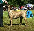 Canary Mastiff red-brindle2.JPG