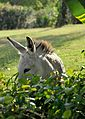 Caneel Bay Free Roaming Wild Donkeys 2.jpg