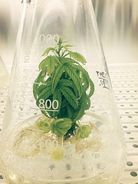 File:Cannabis sativa in Erlenmeyer.jpg