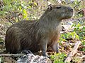 Capybara en Chalalan (Chalalan).jpg