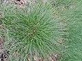 Carex echinata kz01.jpg
