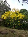 Cassia fistula in full bloom in Anaimalai Tiger Reserve.jpg