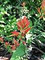 Castilleja tenuiflora (Family Orobanchaceae).jpg