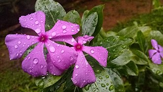 Catharanthus roseus - Image: Catharanthus roseus in Kerala