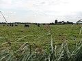 Cattle grazing on Horse Fen - geograph.org.uk - 947169.jpg