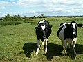 Cattle near Langacre - geograph.org.uk - 231110.jpg