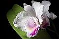 Cattleya quadricolor (39034528891).jpg
