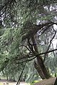 Cedrus deodara, Hangzhou Botanical Garden 2018.06.03 15-26-00.jpg