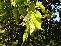 Celtis occidentalis 01003.jpg