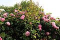 Cemetery pink rose trellis at Theydon Bois, Essex, England 03.JPG