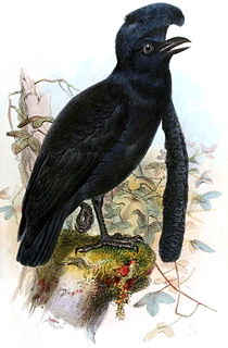 Umbrellabird genus of birds