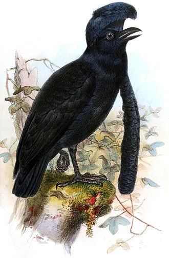 1859 in birding and ornithology - Long-wattled umbrellabird. Illustration from Ibis 1859