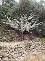 Cerezo entre olivos;.jpg