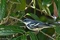 Cerulean Warbler (male) Anahuac NWR-Jackson Prairie Woodlot TX 2018-04-24 14-50-13-3 (27187733217).jpg