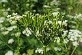 Chaerophyllum aureum kz02.jpg
