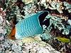 Chaetodon larvatus.jpg
