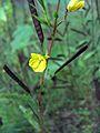 Chamaecrista fasciculata (homeredwardprice) 001.jpg