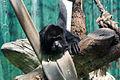 Chapultepec Zoo - Mantled howler.jpg