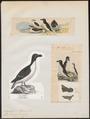 Chenalopex torda - 1700-1880 - Print - Iconographia Zoologica - Special Collections University of Amsterdam - UBA01 IZ17800181.tif