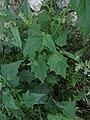 Chenopodium hybridum plant (4).jpg