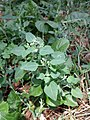 Chenopodium vulvaria sl143.jpg