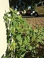 Chenopodium vulvaria sl24.jpg
