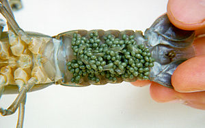 Common yabby - Week-old yabby eggs, 2-3 mm, attached by minute hairs to underside of female abdomen, CSIRO