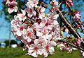 Cherry blossoms Lake Balboa (20140330-0364).JPG