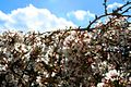 Cherrytree1 - West Virginia - ForestWander.jpg