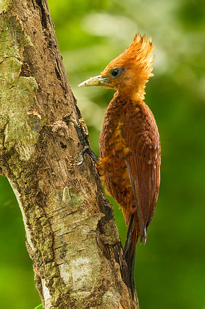 Chestnut-coloured woodpecker - Image: Chestnut coloured Woodpecker