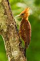 Chestnut-coloured Woodpecker.jpg