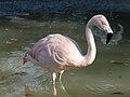 Chilean Flamingo (Phoenicopterus chilensis) RWD.jpg