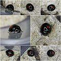 Chilocorus renipustulatus - Kidney-spot Ladybird (10943849114).jpg
