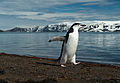 Chinstrap Penguins of Deception Island (8400355532).jpg