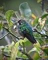 Chlorostilbon melanorhynchus Esmeralda occidental Western Emerald (female) (14174799717).jpg