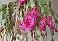 Christmas Cactus 01.jpg