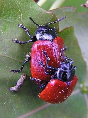 Chrysomela populi - Image: Chrysomela populi 2 beentree