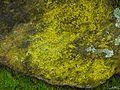 Chrysothrix sp. - Flickr - pellaea (1).jpg
