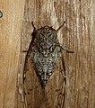 Cicada - Flickr - gailhampshire (4).jpg
