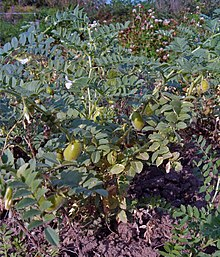 Chickpea - Wikipedia, the free encyclopedia