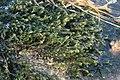 Cinclidotus fontinaloides (a, 144706-474818) 7034.jpg