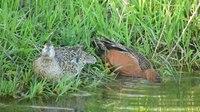 File:Cinnamon teal pair on Seedskadee National Wildlife Refuge.webm