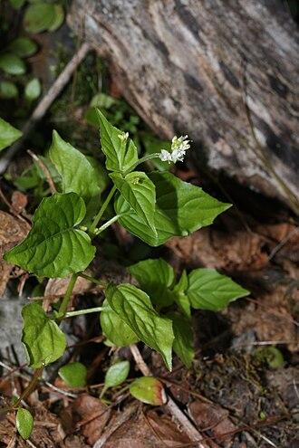 Onagraceae - Image: Circaea alpina 6769
