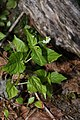 Circaea alpina 6769.JPG