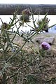 Cirse laineux (Cirsium eriophorum).jpg