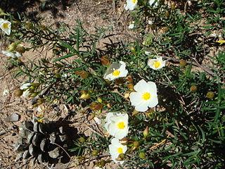 <i>Cistus libanotis</i> Species of flowering plants in the rock rose family Cistaceae