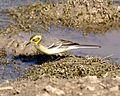 Citrine Wagtail - breeding female - Flickr - Lip Kee.jpg